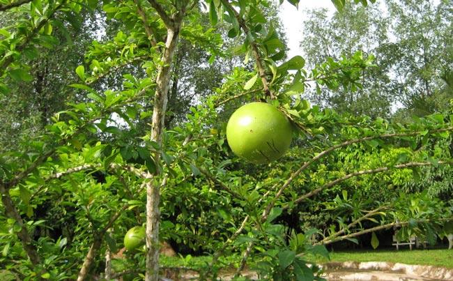 Cây đào tiên cho quả có nhiều tác dụng tốt cho sức khỏe